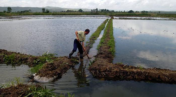 Незадоволство на земјоделците во Кочани: Производството на ориз е катастрофа