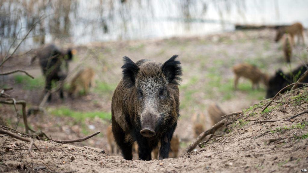 КОЧО АНЃУШЕВ ЗА АФРИКАНСКАТА ЧУМА: Ќе ја активираме и aрмијата за отстрел на диви свињи