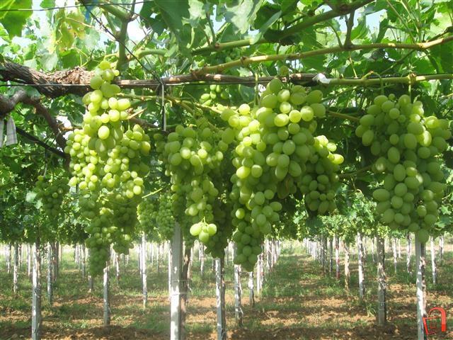 Набрани првите гроздови трпезно грозје во Тиквешко