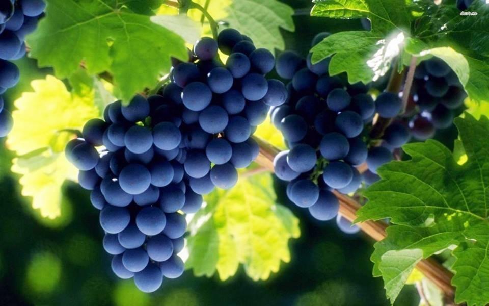 Во Тиквешко: Почна годинашниот откуп на винско грозје