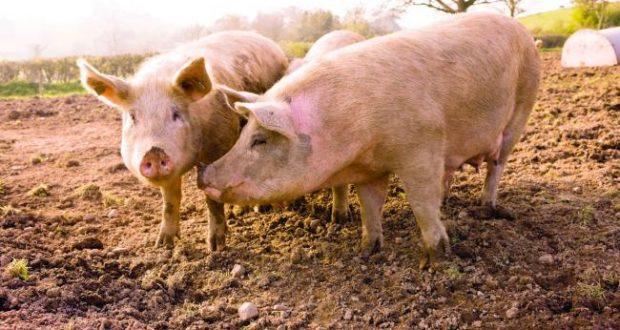 Атанасов за африканската чума: Нема отштета за домаќинствата за угинати свињи