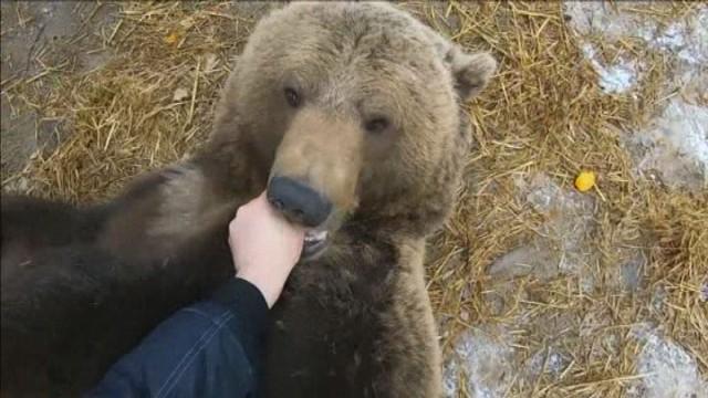 (ВИДЕО) Рускиот пилот Андреј има домашно милениче – мечката Мансур