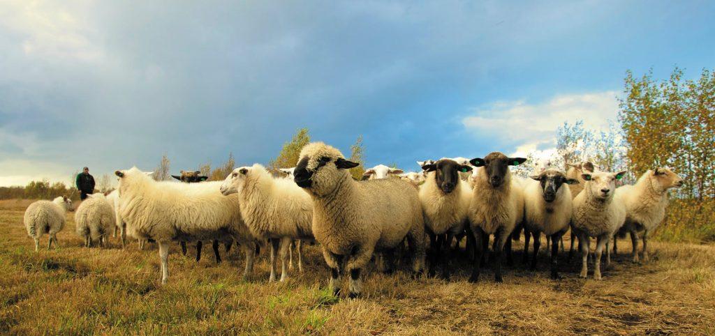 Кичевските сточари уште ги чекаат премиите за 2020 година