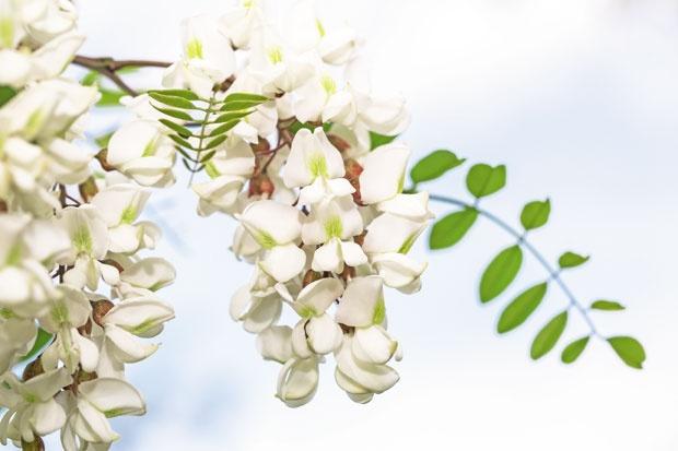 Цветот од багрем и храни и лекува