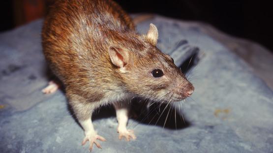 Словенија: Регистрирани повеќе случаи на глувчја треска