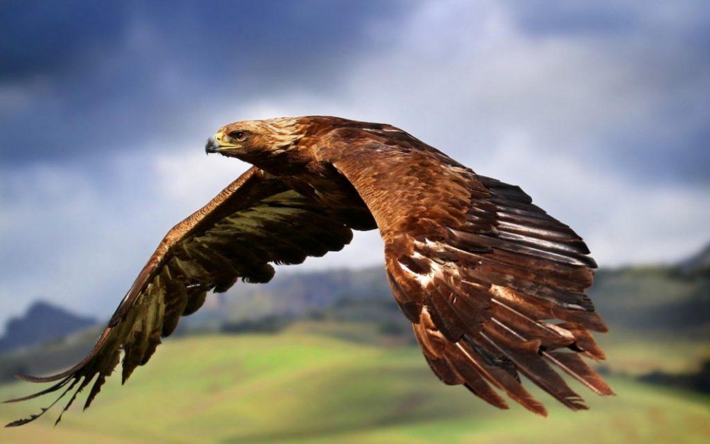 (видео) НАПАДИ ОД ПТИЦИ: Орел напаѓа човек