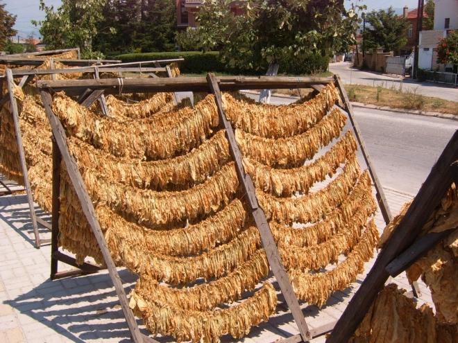 Струмица: Драстично намален бројот на тутунопроизводители, заминуваат во странство