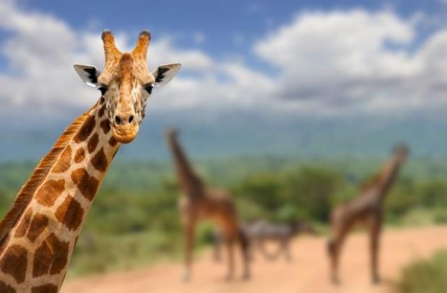 Во зоо парк: Гром ги уби жирафите Лили и Џони во Флорида