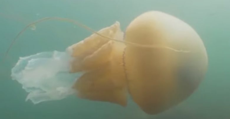 (видео) РЕТКА ПОЈАВА: Во Велика Британија снимена медуза со големина колку човек
