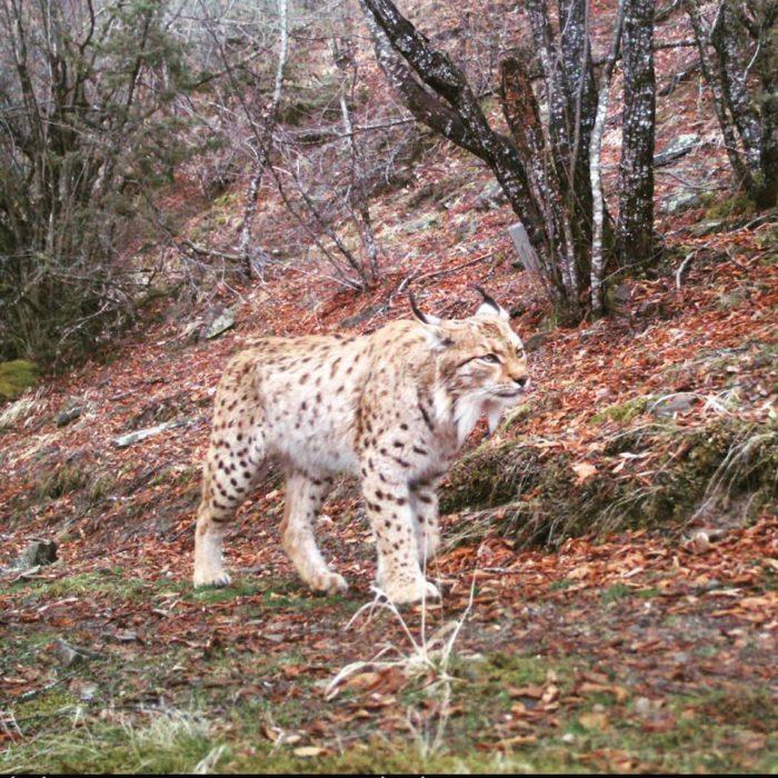 Национален парк Маврово: Рис убавец падна во фотозамка на екологистите, а волк на видео