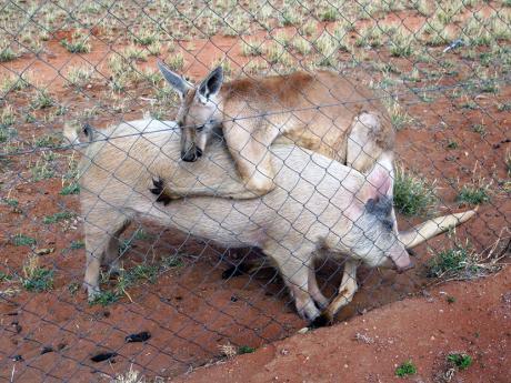 Правната држава во Австралија: В затвор поради нелегален увоз на свинска сперма