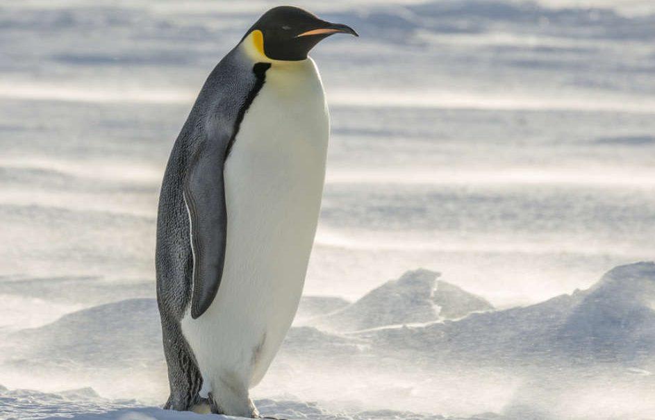 Нов Зелнад: По огромниот папагал пронајден и џиновски пингвин