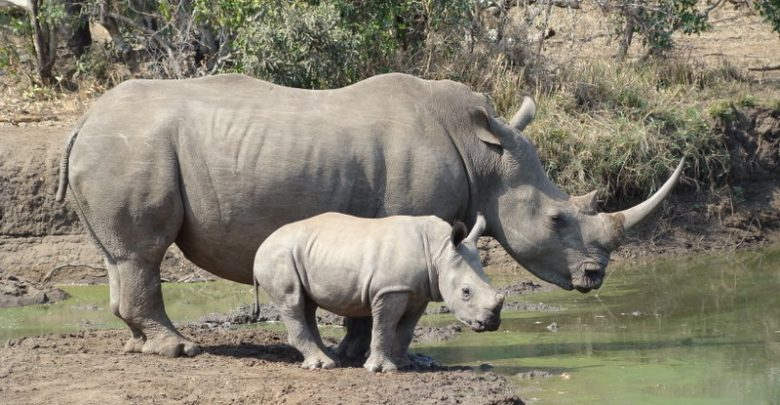 Кенија: Научници создадоа ембриони од бел носорог кој е во исчезнување