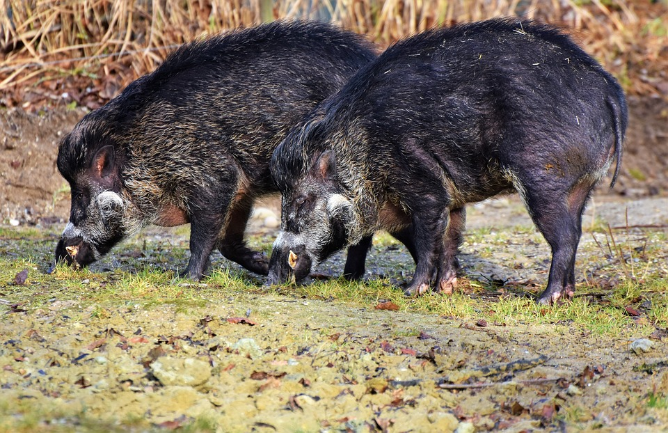 Унгарија: Потврдени 5 случаи на африканска чума кај диви свињи