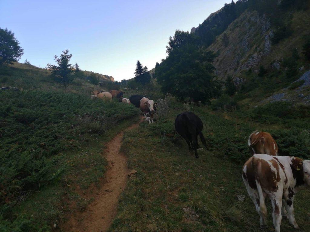 МЛАДИ ЛУЃЕ НА КОЖУФ: Горанчо сака да зборува за филмови, а негов секојдневен филм е стадо од стотина крави и планинскиот мир