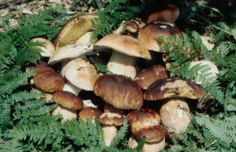 Јапонски научници: Печурките го намалуваат ризикот од рак на простата