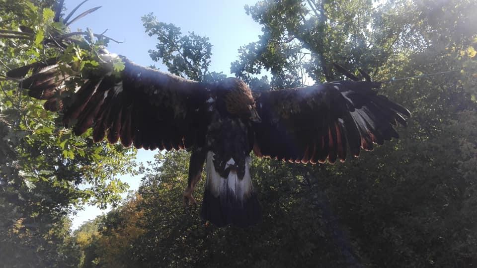 НЕВИДЕН ЗЛОСТОР: Орел убиен со сачмарка и закачен со раширени крилја меѓу две дрвја!