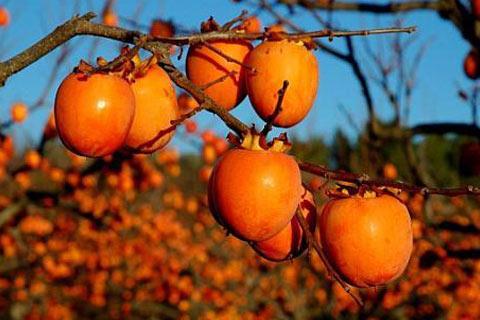 ЛЕКОВИТО ОВОШЈЕ: Настраданите во Чернобил конзумирале јапонски јаболка од Валандово