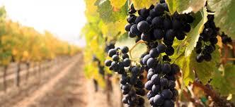 ЗЛАТКО СТОЈЧЕВ, ПРЕТСЕДАТЕЛ НА ТИКВЕШКИТЕ ЛОЗАРИ: Осум денари цена за кг. грозје-жално и срамно!