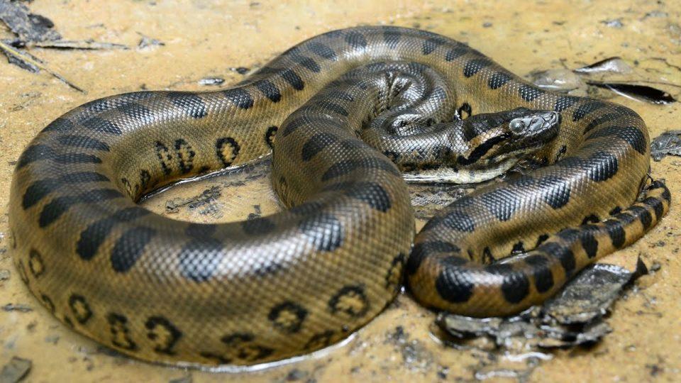 ВТОР СЛУЧАЈ ВО ИСТОРИЈАТА: Анаконда во САД се оплоди без мажјак и роди две анакондичиња