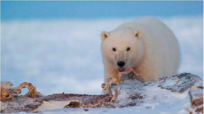 Научни истражувања: Поларни мечки ќе има само уште 80 години, тие ќе исчезнат