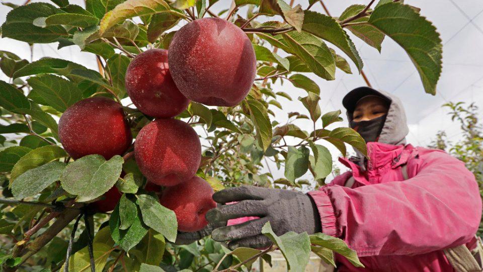 Нова сорта јаболка во САД: Во фрижидер траат цела година