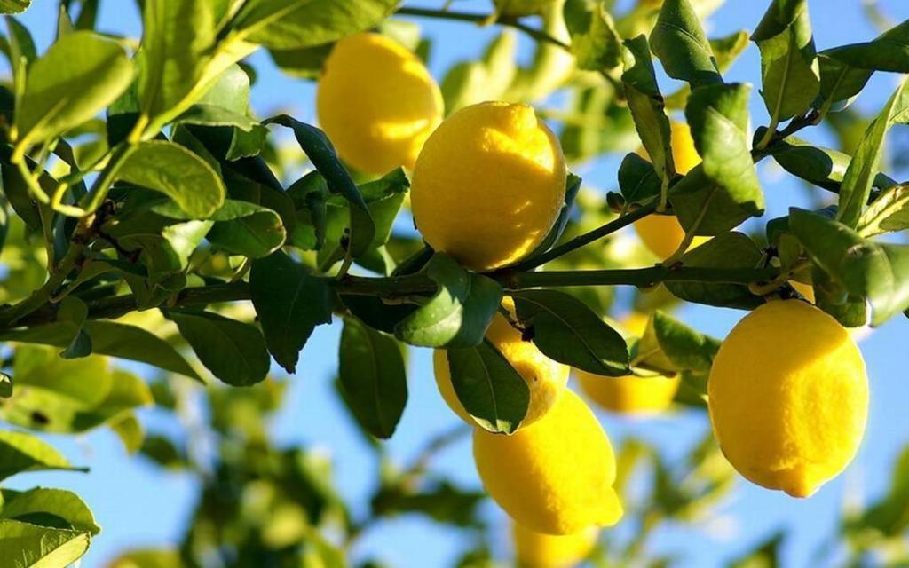 ДРЖАВЕН ПАЗАРЕН ИНСПЕКТОРАТ: Граѓани, не паничете – лимони и јужно овошје има доволно