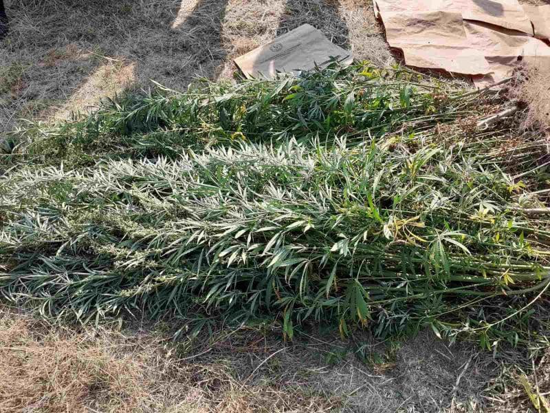 МВР: Во делчевското село Град откривме 112 стебла канабис