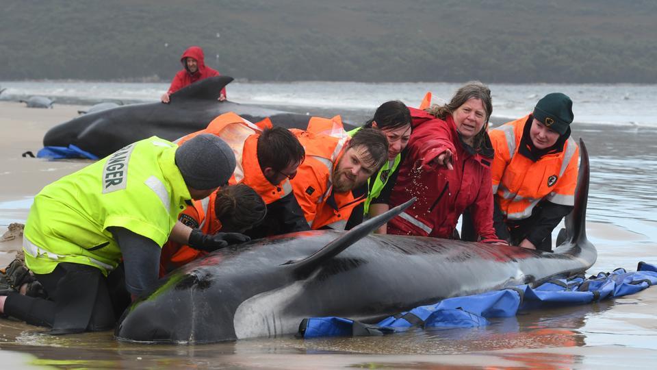Околу 470 пилот китови се уште насукани во Тасманија