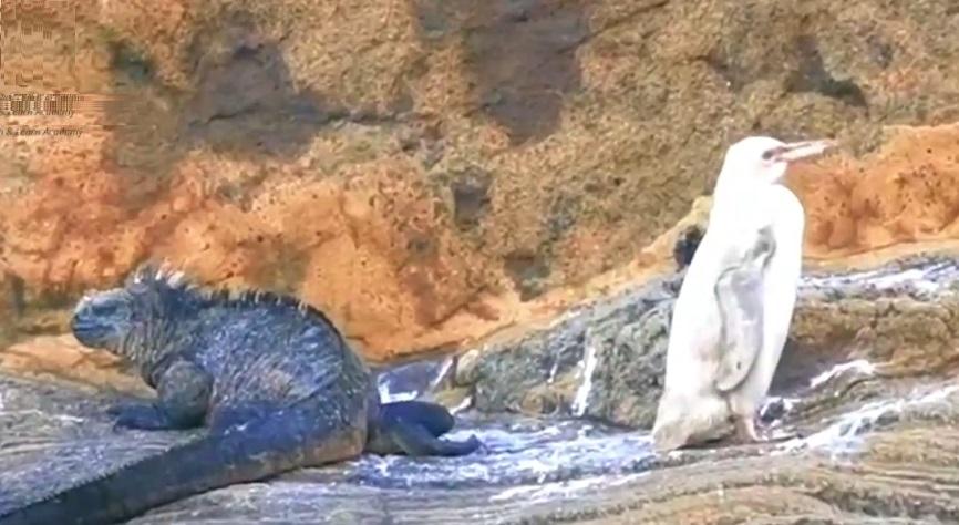 Национален парк на Галапагос: Откриен целосно бел пингвин