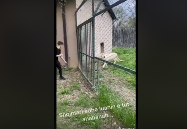 Посетители на Зоолошката градина ја вознемируваат лавицата Бела (ВИДЕО)