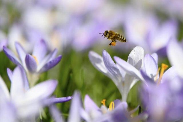 Холандски научници обучиле пчели да намирисаат коронавирус